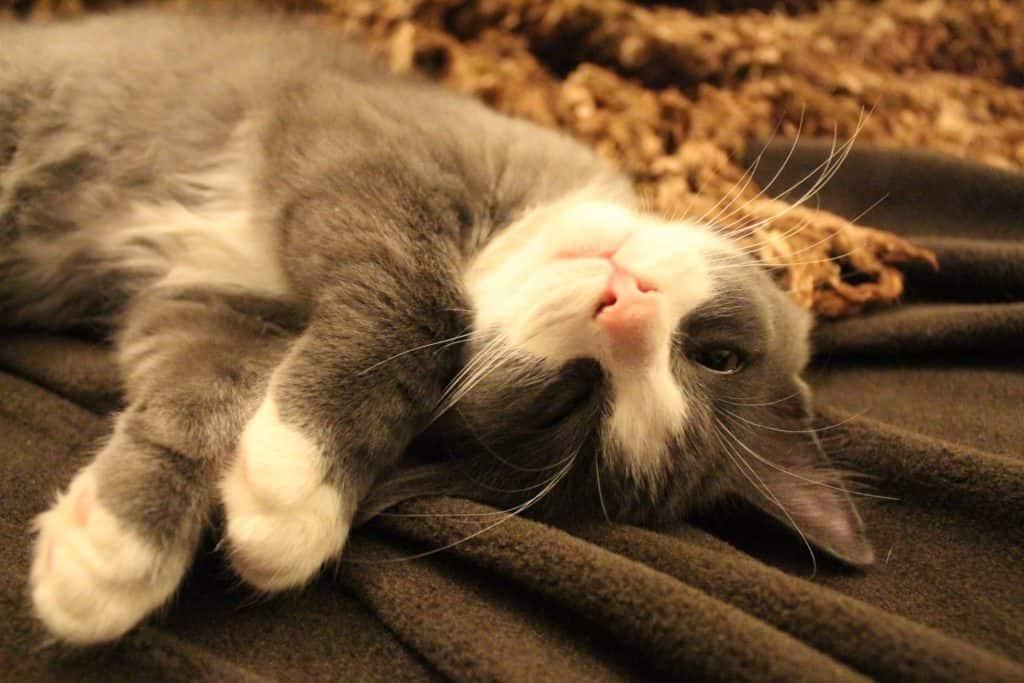 cat, pet, sleeping,